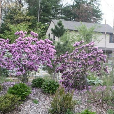 pjm-rhododendrons-2