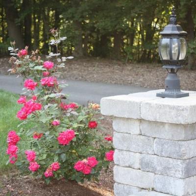 shrub-rose
