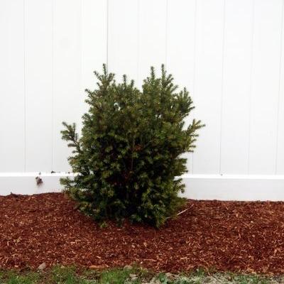 taxus-plant-yew