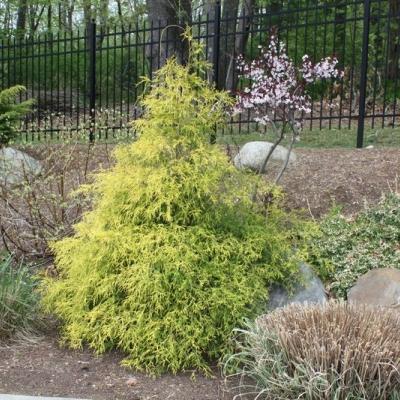 threadleaf-cypress