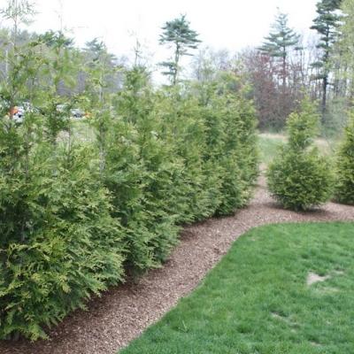 arborvitae-hedge