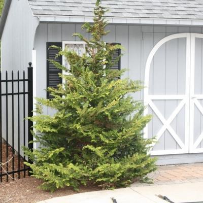 fernspray-cypress