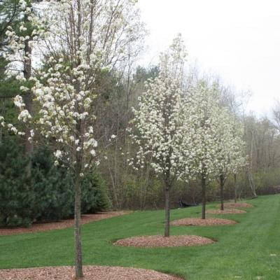 flowering-pears