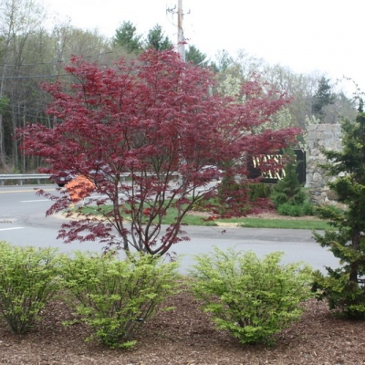 multistemmed-jap-maple-hinoki-cypress