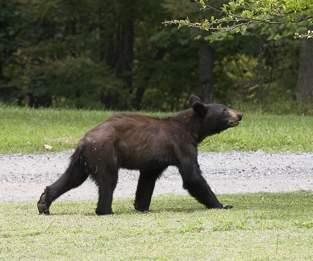 Bear heading to a plum tree, Guy Sagi