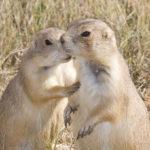 prairie dog secret, Guy Sagi