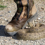 prairie rattlesnake after a strike, Guy Sagi