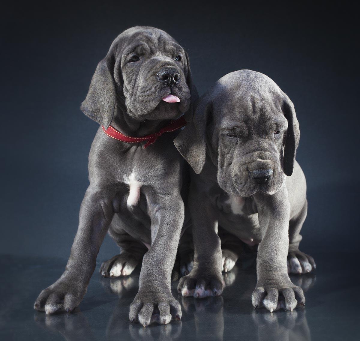 Maverick Danes, Guy J. Sagi, puppy sibling rivalry, Great Dane puppies, strobist photography