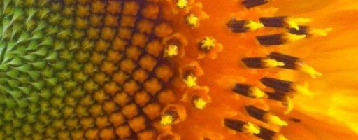 The Sacred Gardener sunflower