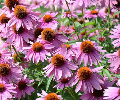 Echinacea, Snake Root and Snake Oil