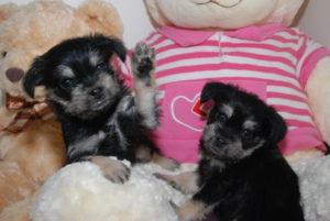 Wolfie Puppy clones