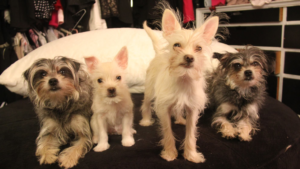 Four cloned dogs.