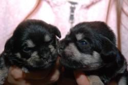 2 Wolfie puppy clones