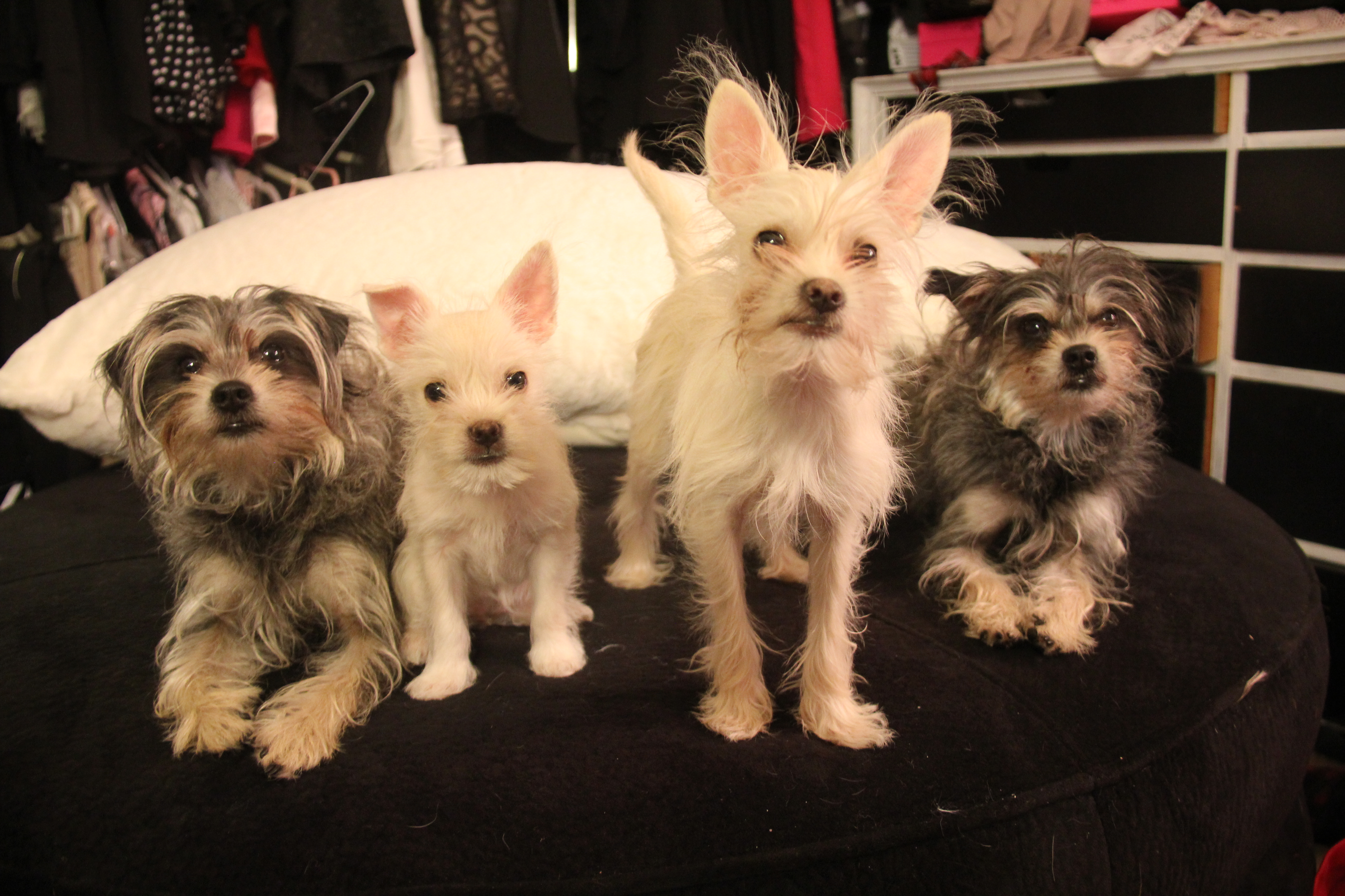 Four dog clones together