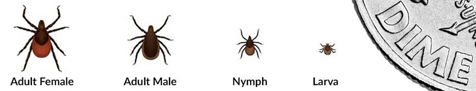 Lyme disease ticks - Ixodes scapularis (the deer tick) & Ixodes pacificus (the western blacklegged tick)