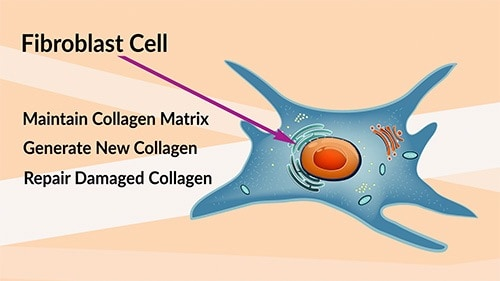 The fibroblast cell deals with the repair and maintenance of the collagen matrix