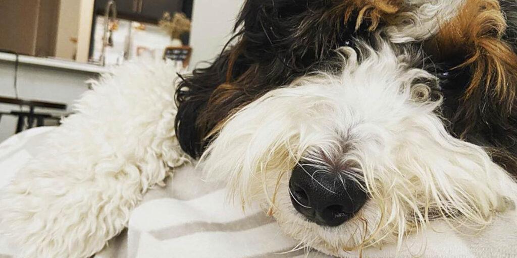 Sleepy Bernadoodle Puppy