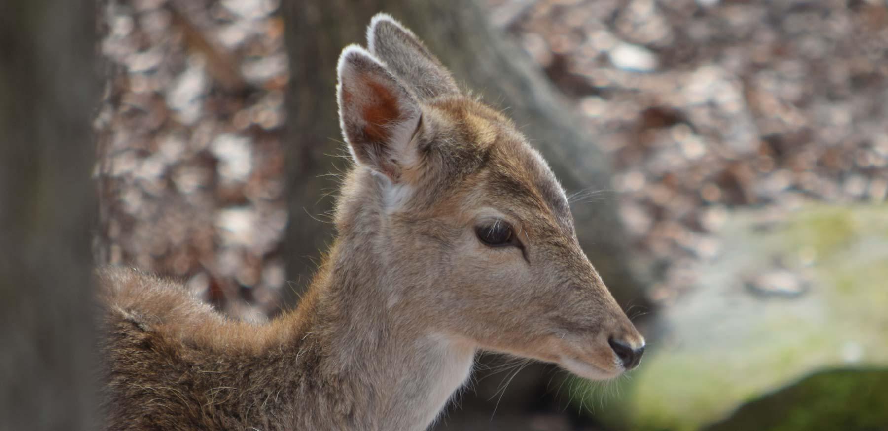Yellow River fallow deer close up