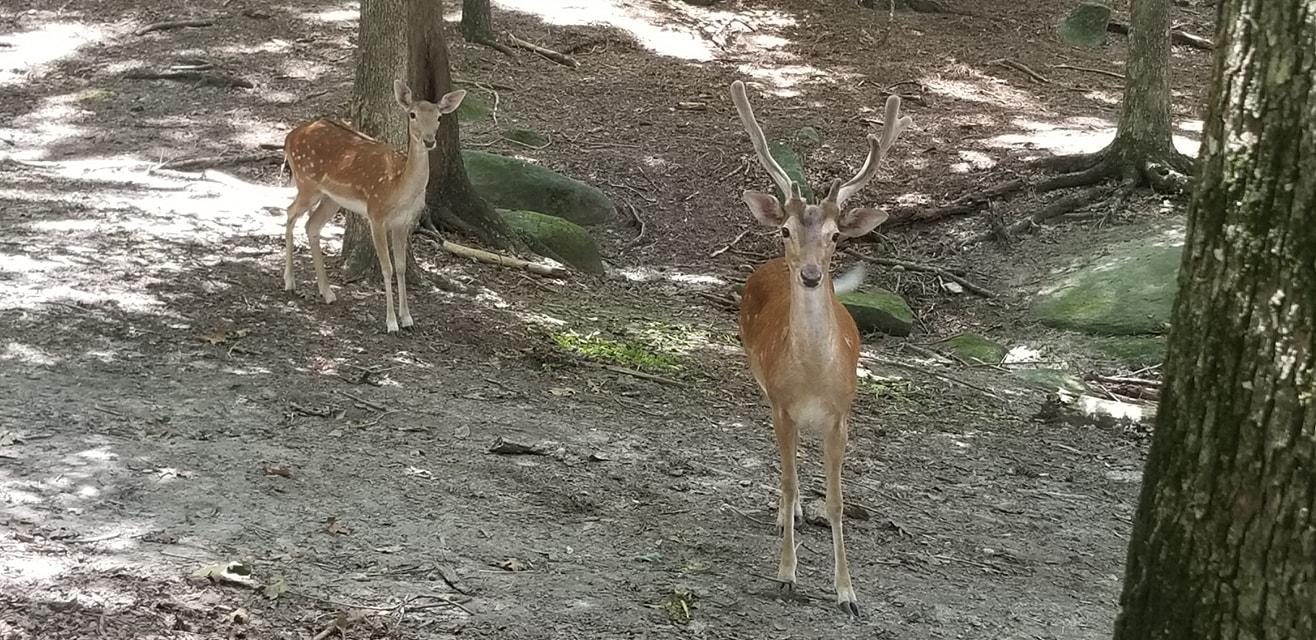 Yellow River Fallow Deer buck