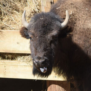 YRWS Bison