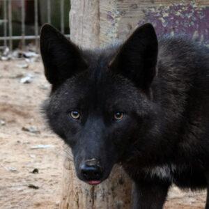Carmine Coyote Yellow River Wildlife Sanctuary
