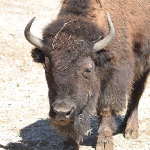 Yellow River Wildlife Sanctuary Bison TL