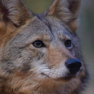 YRWS Wilee Coyote