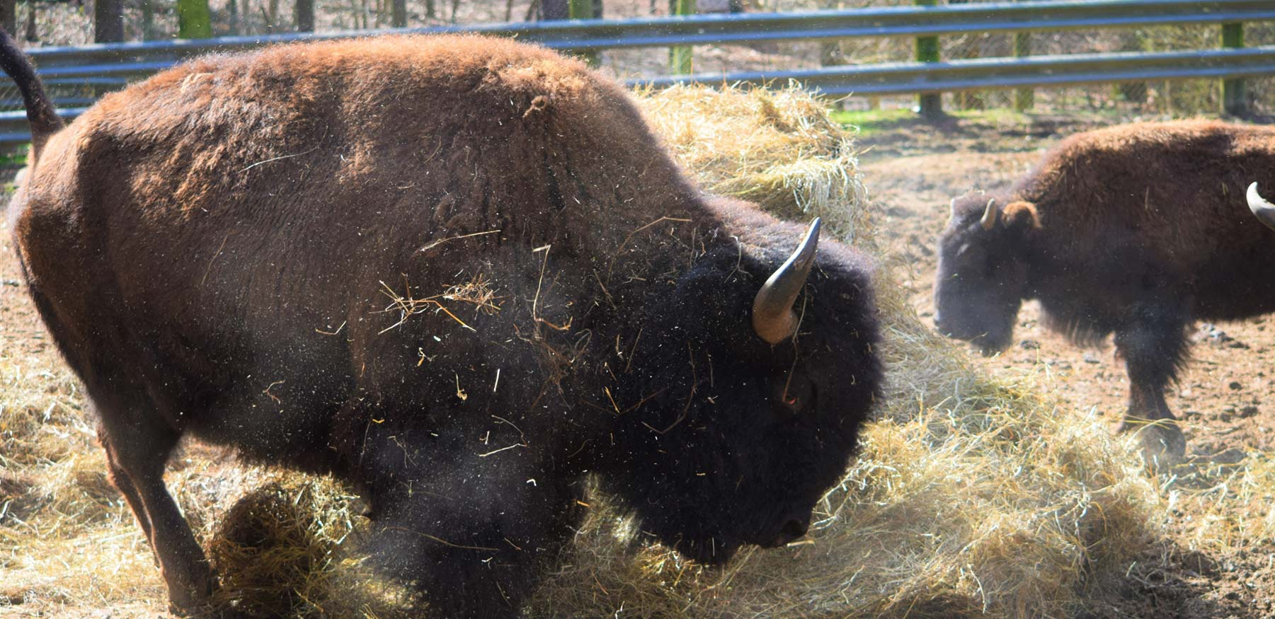 Bison playing at Yellow River Wildlife Sanctuary