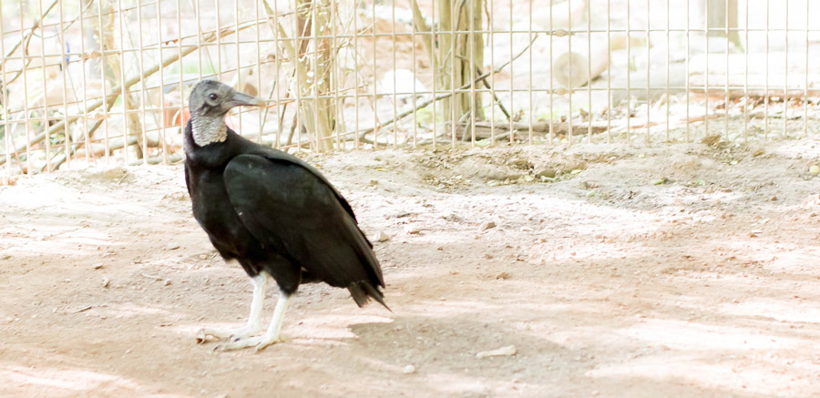 Black Vulture standing at Yellow River Wildlife Sanctuary