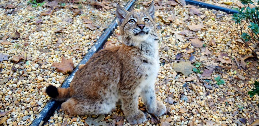 Kushka Eurasian Lynx at YRWS