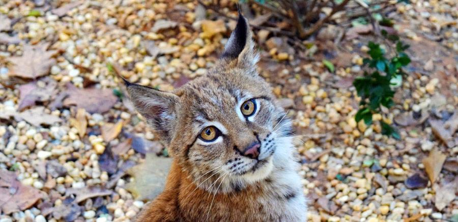 Kushka Eurasian Lynx at Yellow River Wildlife Sanctuary