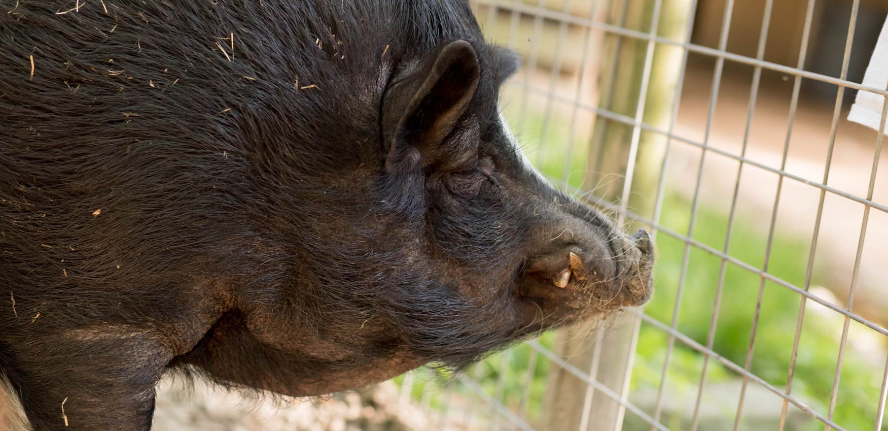 Pot Belly Pig at Yellow River Wildlife Sanctuary