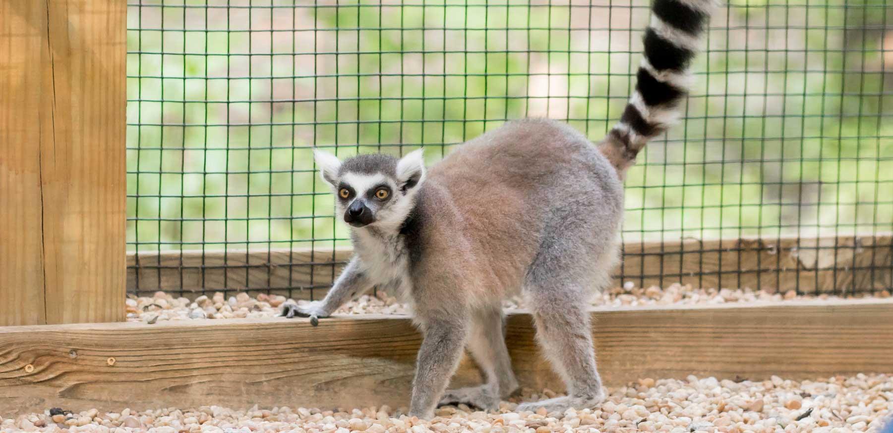Curious ring-tailed lemur at YRWS