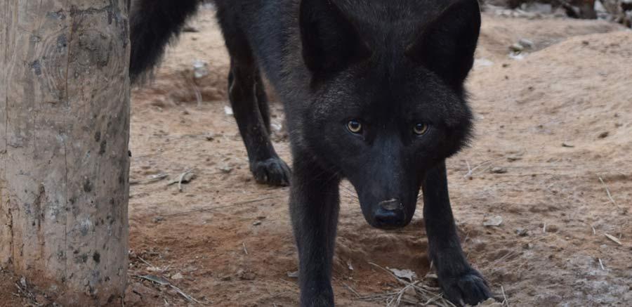 Yellow River Wildlife Carmine Coyote 2
