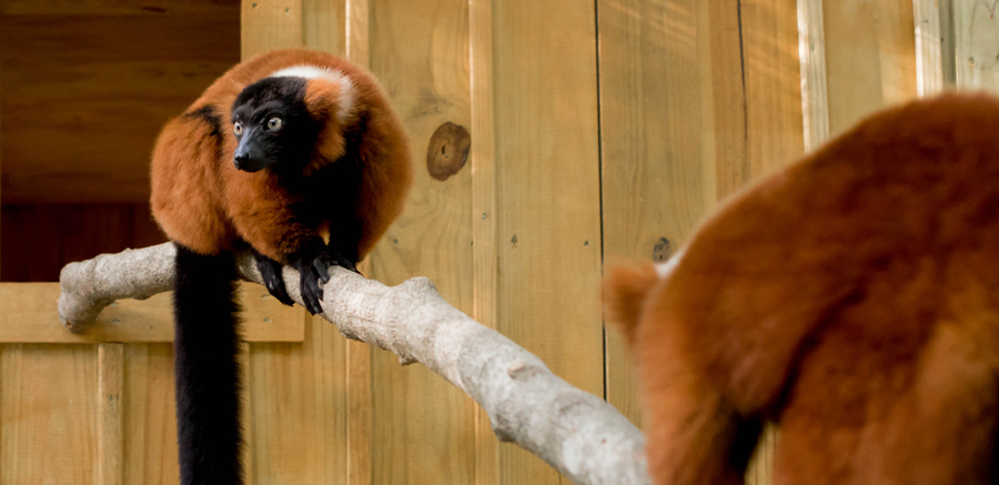 Yellow River Wildlife Sanctuary Red Ruffed Lemur near night house