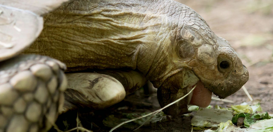 Sulcata tortoise - Yellow River Wildlife Sanctuary