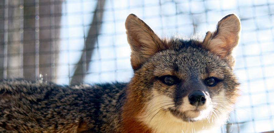Gray fox at Yellow River Wildlife 2