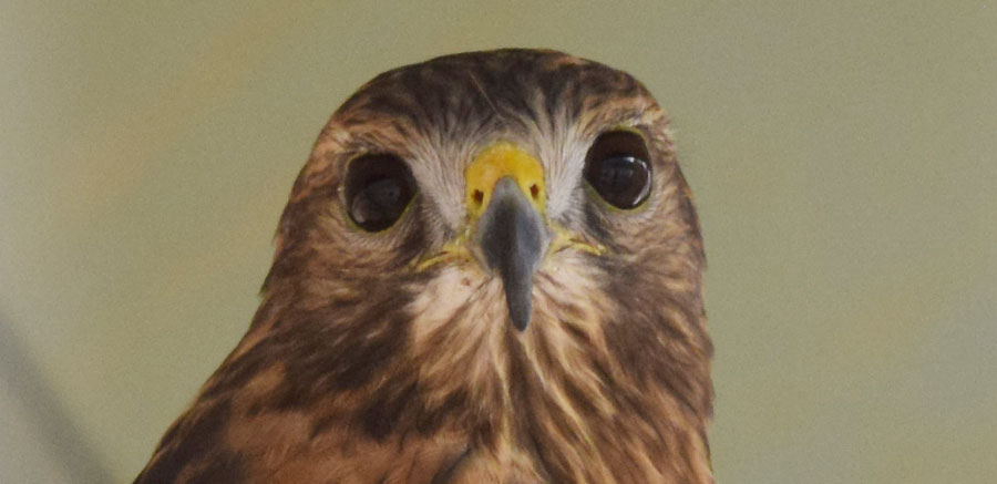 Red-shouldered hawk at Yellow River 1