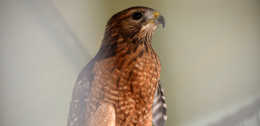 Red-shouldered hawk at Yellow River 2