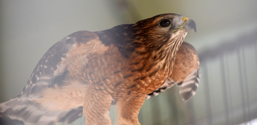 Red-shouldered hawk at Yellow River 3