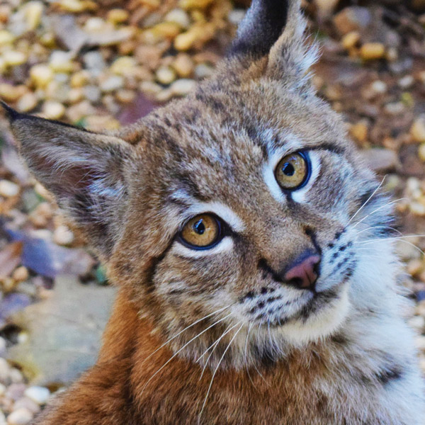 Lynx Guided Tour