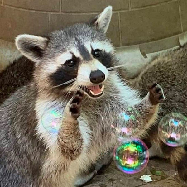 Racoons Guided Tour at Yellow River Wildlife Sanctuary
