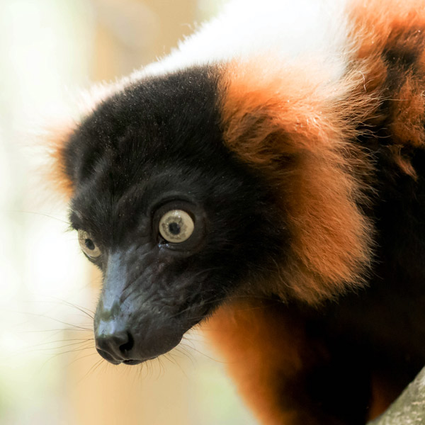 Red Ruffed Lemur Guided Tour