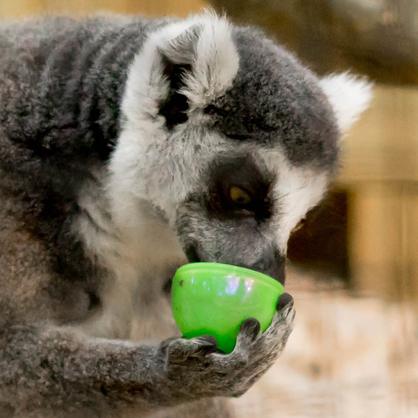 Ring-tailed Lemur Guided Tour