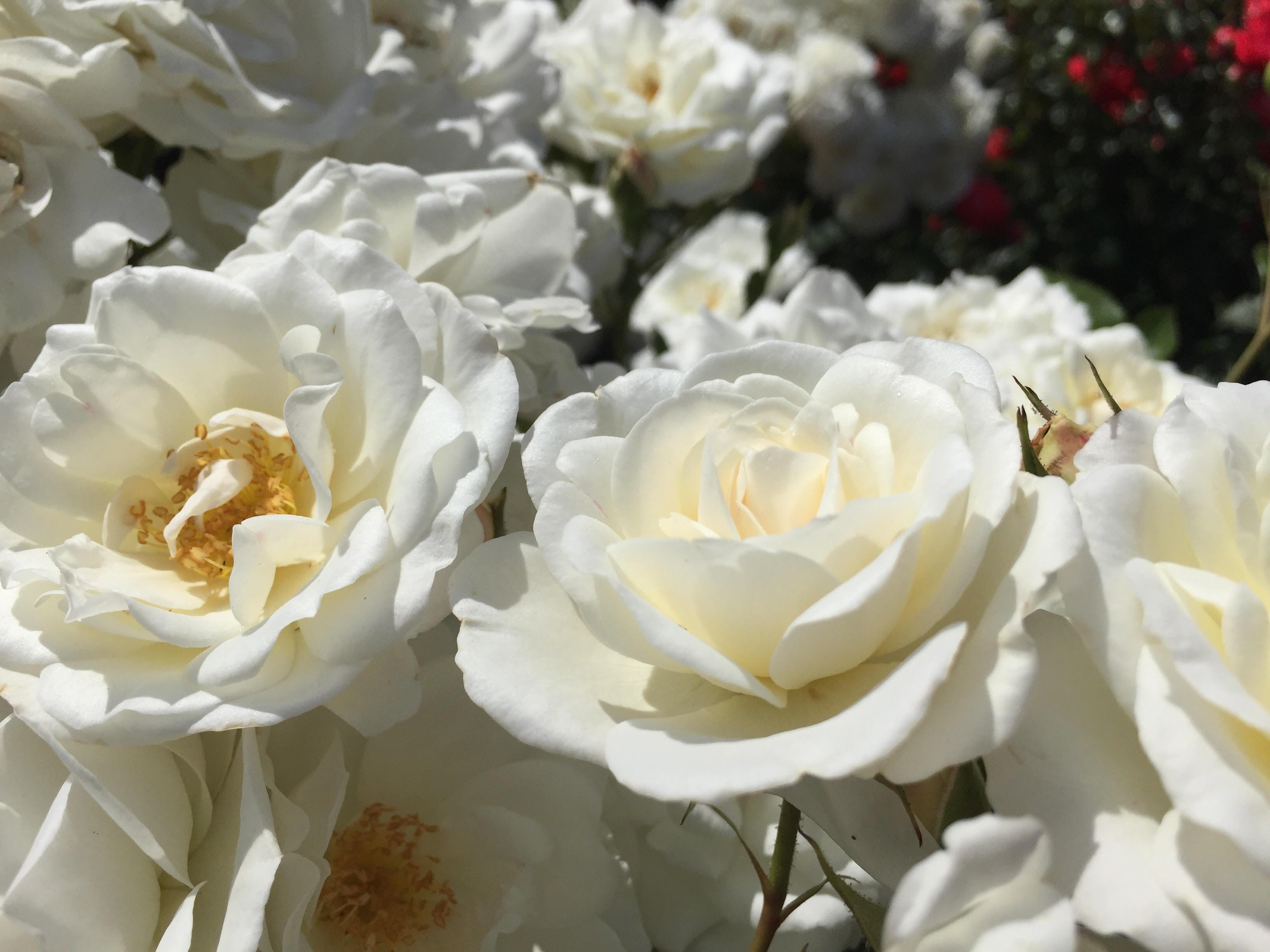 Portland Roses