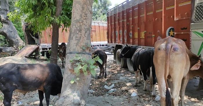 बैरिया पुलिस ने ट्रक मे लादकर ले जा रहे 21 गोवंश बचाए, बिहार सीमा पर रोका ट्रक