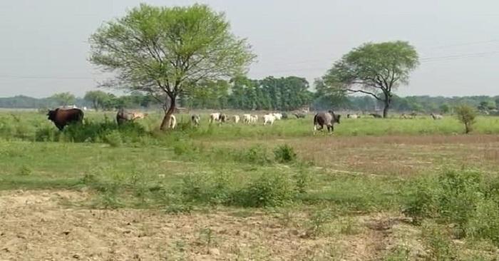 गाय ने पटक-पटक कर मार डाला, मृतक के परिवार में पत्नी और 9 बेटियां बेसहारा हुईं