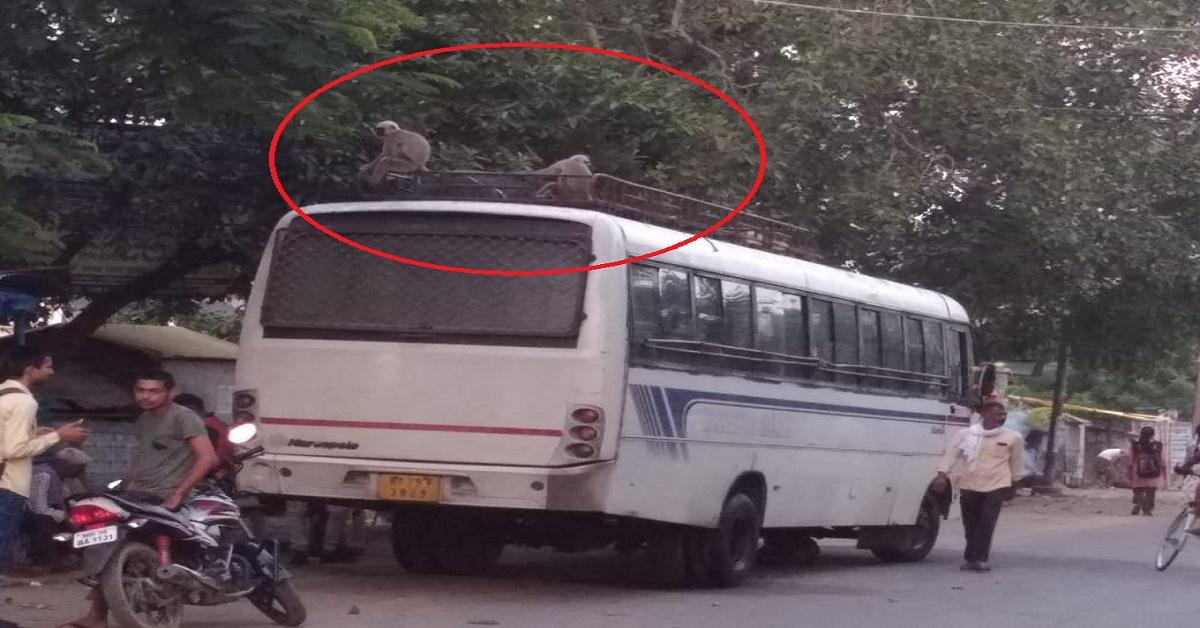 मनियर में बसों की सवारी कर रहे लंगूर, बसों की छत पर कर लिया है कब्जा!