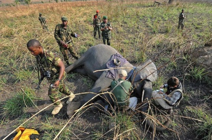 45 elephants slaughtered this year in DRC National Park