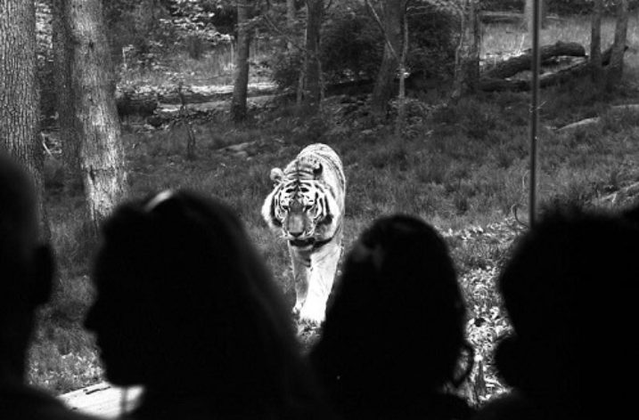 Fiction: Gathering Tigers